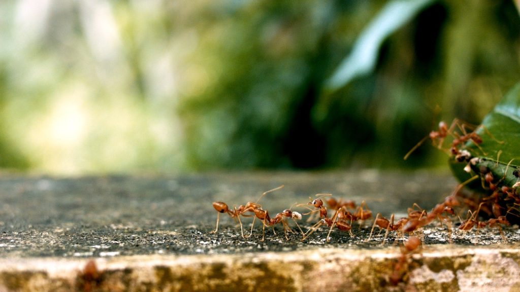 Ant colony in search of food